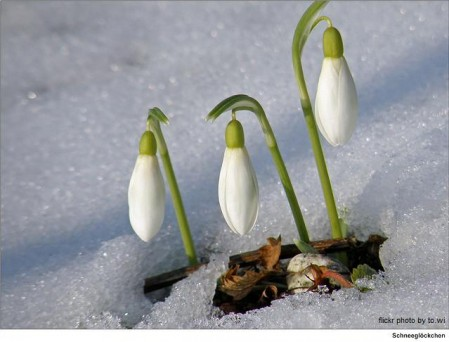 buds in snow